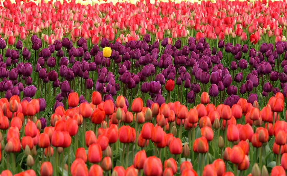 Purple Tulips Unique Red Flowers Stand Out Yellow